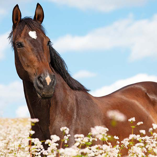 Bay horse in field of flowers with blue sky background