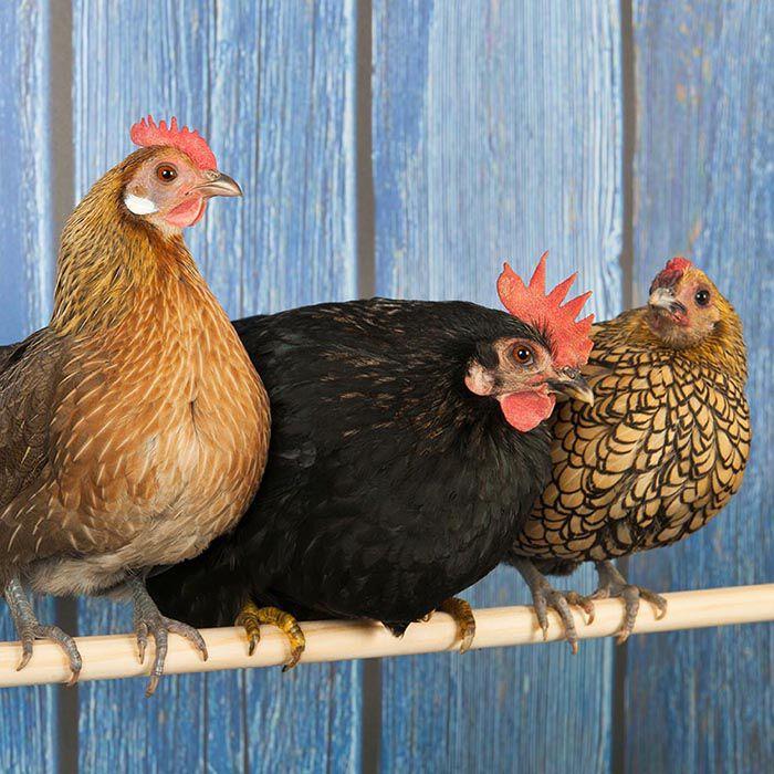 Row of bantam chickens