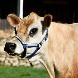 Perri's Ribbon Nylon Cow Halter